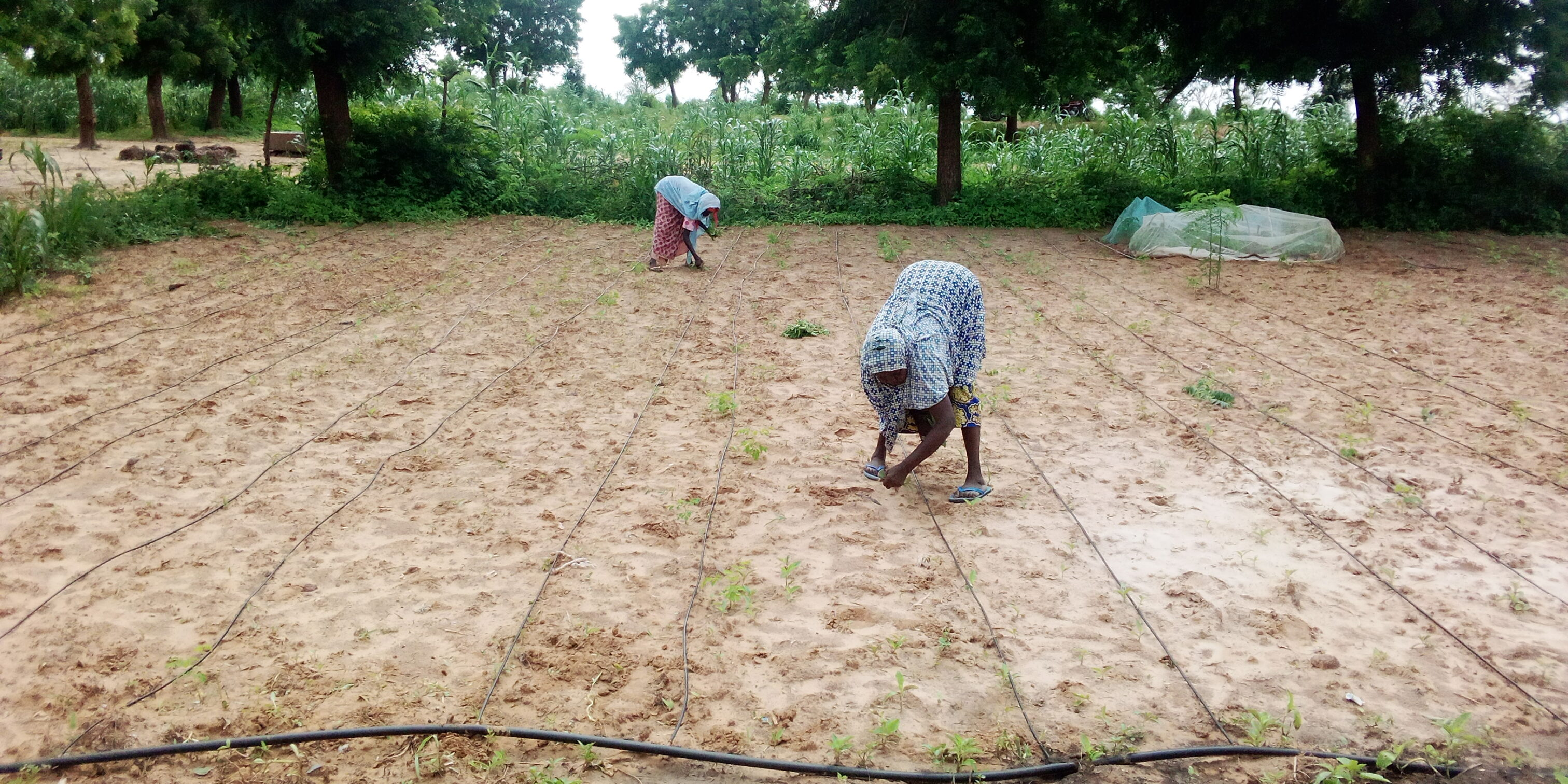 Women transplanting seeds on a drip irrigation site